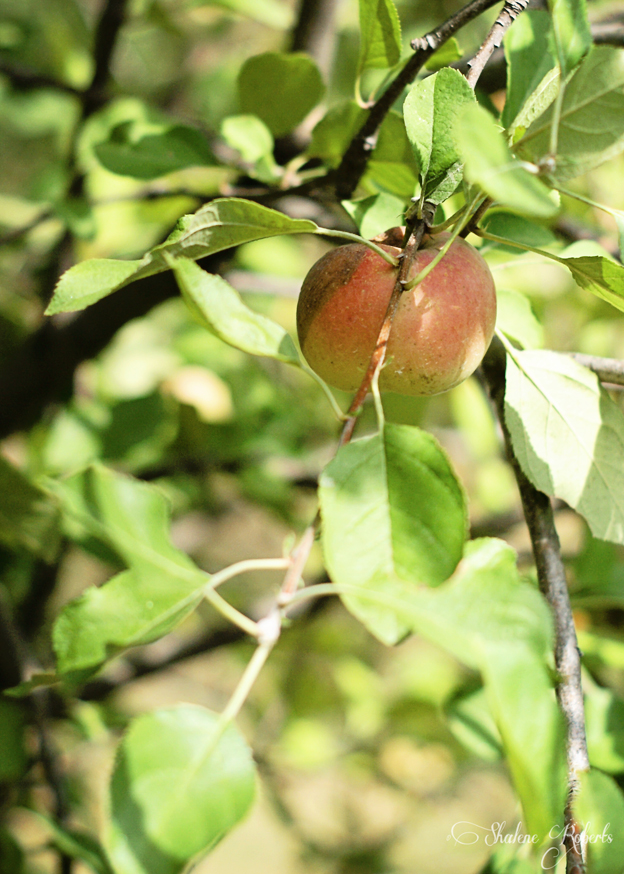 Apple Picking | Faith and Composition